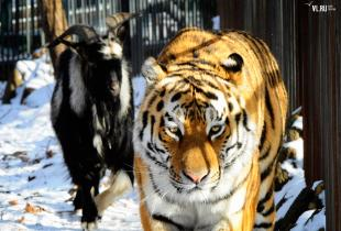 Секс у тигров смотреть онлайн