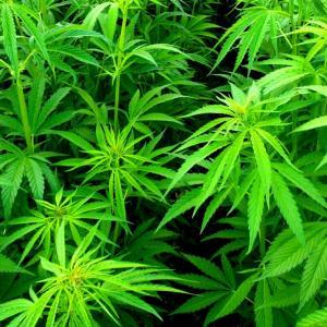 Конопля влияет на бесплодие не кури марихуану ноггано скачать