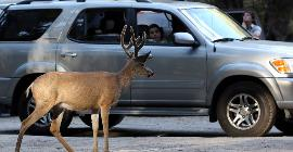 California allowed eating deer shot down on the roads