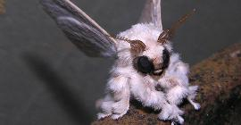 Bizarre Nature creation — Venezuelan poodle moth (5 real photos)